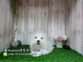 燕翬(ㄏㄨㄟ)寵物✨►全台灣唯一西莎廣告明星御用犬舍◄►❤️西高地白梗(西莎御用犬)