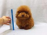 燕翬(ㄏㄨㄟ)寵物►細緻甜美泰迪貴賓◄►貼心小情人首選poodle puppies for sale!