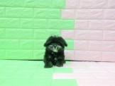 燕翬(ㄏㄨㄟ)寵物►尊貴鑽石耀眼黑貴賓◄超級純色貼心小貴賓poodle puppies