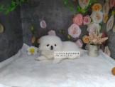 燕翬(ㄏㄨㄟ)寵物✨►現時心動亮相北京犬◄►高貴不失優雅,黏人愛撒嬌◄►獅子狗◄