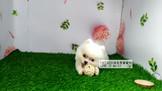 燕翬(ㄏㄨㄟ)寵物✨►現時心動亮相狐狸博美◄►可愛活潑小毛球◄►貼心小可愛◄
