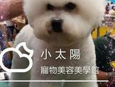 超級爆毛 ((( 極品 比熊犬 ))) 特價,限今天唷!!^_^