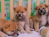 ●安心賣家~最高星評價~實體店面~日本萌犬柴犬
