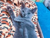 ●安心賣家~最高星評價~實體店面~貓中貴族~俄羅斯藍貓