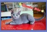 持續優惠中~俄羅斯藍貓~藍色風暴~歡迎現場賞貓