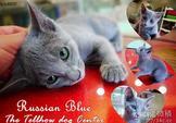 預定中●安心賣家~最高星評價~實體店面~貓中貴族~俄羅斯藍貓