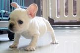 高品質奶油白法國鬥牛犬~提供現金分期服務~可刷卡~另有其他幼犬