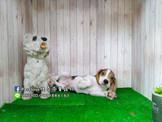 燕翬(ㄏㄨㄟ)寵物✨►現時心動亮相►13吋家喻戶曉狗明星米格魯◄►活潑溫馴小情人首選Beagle puppies for sale!