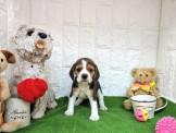 燕翬(ㄏㄨㄟ)寵物►現時心動亮相►13吋家喻戶曉狗明星米格魯◄►活潑溫馴小情人首選Beagle puppies for sale!