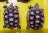 各尺寸蘇卡達象龜與黑靴陸龜一對廉讓,合法店家有保障