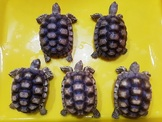 各尺寸蘇卡達象龜與黑靴陸龜廉讓,合法店家有保障