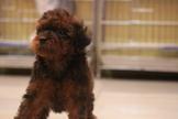 優質酒紅色玩具貴賓~提供現金分期服務~可刷卡~另有其他幼犬