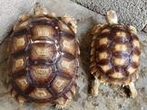 各尺寸蘇卡達象龜與各種私藏陸龜交流與廉讓