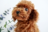 漂亮迷你紅貴賓幼犬~可刷卡~六顆星~通過安心賣家認證~另有其他幼犬