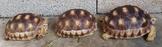 蘇卡達象龜與各種私藏陸龜交流與廉讓