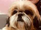 西施犬(真正原生種短腿粗掌小型)任何花色都有29999起