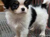 長毛吉娃娃幼犬(蘋果頭短圓嘴)19999起(非尖嘴凸眼小杜賓型)