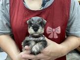 雪納瑞胡椒色幼犬及純黑.純白.花.四目幼犬都有19999起