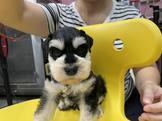 雪納瑞(原生種)胡椒色幼犬及純黑.純白.花.四目幼犬都有19999起
