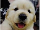 ●安心賣家~最高星評價~實體店面~溫馴黃金獵犬