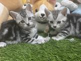 最會撒嬌的貓~美國短毛貓~安心賣家