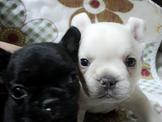 法國鬥牛幼犬(可刷卡或現金分期)