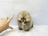 ◆◆快樂狗幼犬生活館◆賽級嚴選◆超短吻超爆毛賽級赤色梨色博美幼犬出售(另有白博美)◆rare Tcup pomeranian baby for sal