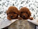 ◆快樂狗幼犬生活館◆精挑嚴選◆爆毛臉甜毛色深的超迷你玩具型與迷你茶杯型紅貴賓幼犬(____另有各色貴賓_____)◆sweet Tcup teddybear poodle baby for sale