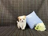 ◆◆快樂狗幼犬生活館◆精挑嚴選◆經典黃白奶油乳牛 長毛吉娃娃幼犬出售◆ rare tri-state Chihuahua for sale◆