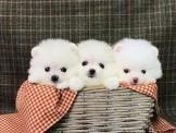 ◆◆快樂狗幼犬生活館◆賽級嚴選◆外銷超高等級超短吻超短腿迷你型白博美國內限時回饋◆PURE WHITE teacup pom girl