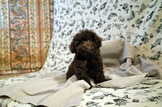 ���ּ֪�����ͬ��]����D�Y����㫬���g�A���J�O�Q������X�⡻ choco Tcup poodle for sale��