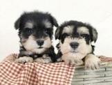 ◆快樂狗幼犬生活館◆精挑嚴選◆超優質迷你雪納瑞寶寶幼犬出售標準配色沒得比,站姿漂亮沒話說◆Miniature Schnauzer BABY FOR SALE