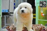 ❤靈犬雪莉~大白熊❤賽級血統❤板橋區❤