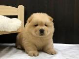 ◆◆快樂狗幼犬生活館◆王者之風◆帝王血統體態超優赤色鬆獅 奶油白 黑鬆獅 稀有松獅寶寶鬆獅幼犬出售◆RARE cream Chow Chow◆
