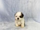 ◆快樂狗幼犬生活館◆賽級嚴選◆超優質血統純正的迷你型西施幼犬出售(公母都有)◆Shih Tzu baby for sale◆
