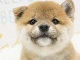 ❇寵物時光❇新北市政府評鑑優等獎❇頂級ウダんモ 日系柴犬 Shiba Inu