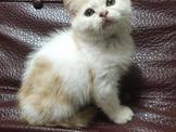英國短毛貓~~可刷卡~可免卡辦理現金分期