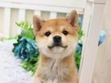 ❇寵物時光❇頂級ウダんモ 日系 豆柴 柴犬 Shiba Inu  黑柴妹妹/赤柴弟弟 妹妹