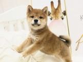 ❇寵物時光❇頂級ウダんモ 日系  柴犬 Shiba Inu  赤柴