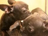 黑虎斑法國鬥牛犬寶寶~可分期~附新照~另有其他幼犬