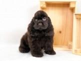 ◆◆快樂狗幼犬生活館◆超稀有釋出◆美國可卡犬◆American Cooker Spaniel PUPPY  for sale◆