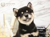 ❇寵物時光❇頂級ウダんモ 日系黑四目柴犬 Shiba Inu