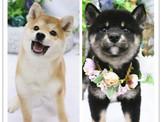 ❇寵物時光❇頂級ウダんモ 日系  柴犬 Shiba Inu  赤柴/黑柴