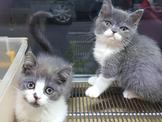 英國短毛幼貓特價12000起~~可刷卡~可免卡辦理現金分期