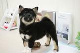 ❇寵物時光❇頂級ウダんモ 日系柴犬 Shiba Inu