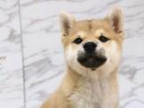 ❇寵物時光❇頂級ウダんモ 日系柴犬 Shiba Inu  黑柴妹妹/赤柴弟弟/白柴弟弟