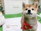❇寵物時光❇頂級ウダんモ 日系 豆柴 柴犬 Shiba Inu  赤柴