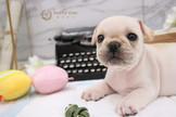 ❇寵物時光❇頂級短體 美系法國鬥牛犬  French bulldog