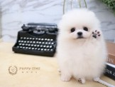 ❇寵物時光❇頂級 短吻短體 日系迷你爆毛松鼠博美 Pomeranian
