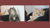 ●安心賣家-最高星評價~實體店面~挪威森林貓